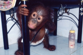 Jennifer Hile - Orphan Orangutan, Orangutan Foundation Clinic, Borneo (when someone he didn't know walked into clinic)